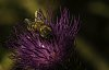 -backyard_wildflowers_and_bees_2015-10-117-5707-shellys-second-bee-cropped-posting.jpg