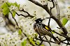 -new-holland-honey-eater-1-2.jpg