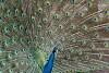 -imgp2760-peacock.jpg