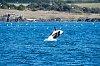 -orca-breaching-print.jpg
