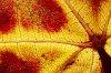 -maple-leaf-macro-2.jpg