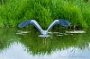 -heron-taking-flight-3529.jpg