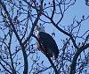 -eagle-tree.jpg