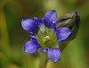 -parrys-gentian-wildflower-gentiana-parryi-gentian-family-iso-200-75-mm-f10-1-50-s-6033.jpg