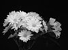 -daisies-web.jpg