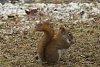 -red-squirrel.jpg