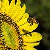 -sunflower-bees-3154.jpg