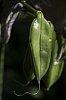 -3274-agapanthus-seed.jpg