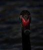 -2896-black-swan.jpg