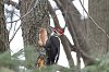 -pileated-woodpecker-3.jpg