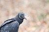 -black-vulture.jpg