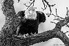 -angry-bald-eagle-20160325_128-edit.jpg