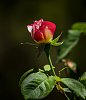 -1632-backyard-rose.jpg