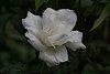 -4014-white-rose.jpg
