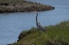 -great-blue-heron.jpg