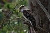 -4530-kookaburra.jpg