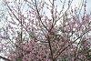 -peach-tree.jpg