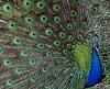 -peacock-resized.jpg