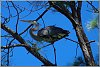 -heron-up-tree.jpg
