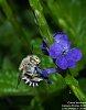 -2016-05-09-amegilla-bee-1581.jpg