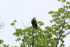-juvenile-bald-eagle.jpg