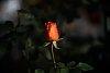 -0361-roses-cbd.jpg