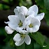 -apple-blossom_img0272r-web.jpg