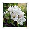 -apple-blossom_img0492rk-web.jpg