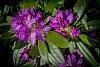-peeping-rhododendron.jpg