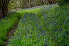 -bluebell-road.jpg