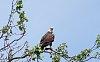 -bald-eagle-perched-high.jpg