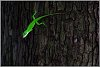 -stoned-chameleon2rs.jpg
