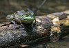 -green-frog-052916.jpg