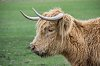 -8597-foreign-cow.jpg