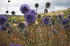 -thistle-blooms-e-m.png