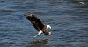 -bald-eagle-fishing.jpg
