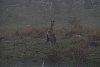 -0914-eastern-grey-kangaroos-fog.jpg