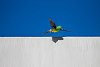 -6974-abstract-ruined-red-rumped-parrot.jpg