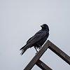 -0981-australian-raven-corvus-coronoides.jpg