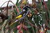-7208-new-holland-honeyeater.jpg