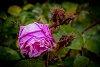 -moss-rose.jpg