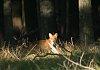 -red-fox.jpg