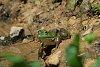 -bull-frog-1.jpg