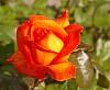 -orange-yellow-rose.jpg