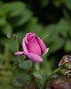 -alden-rosebud-16.09.01.jpg