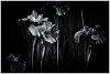 -black-white-iris.jpg