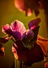 -5x7_purple_iris_lightroom_tonal_contrast.jpg