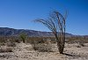 -joshua-tree-np-dancing-tree.jpg