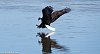 -bald-eagle-diving-left.jpg