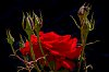 -red-rose-against-dark-background.jpg